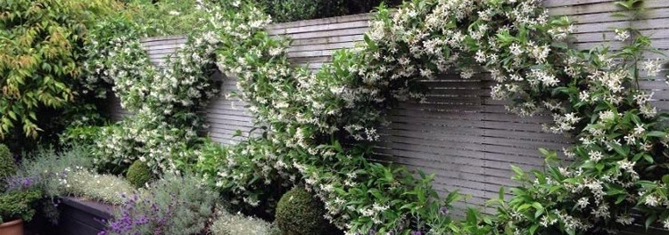 Clematis: vertikale Gärten